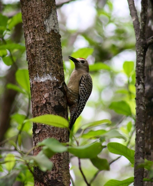 mastic trail - west indian woodpecker