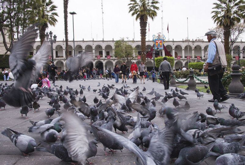 pigeons in Arequipa