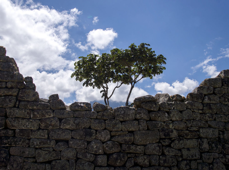 tree behind stone wall  Machu PIcchu