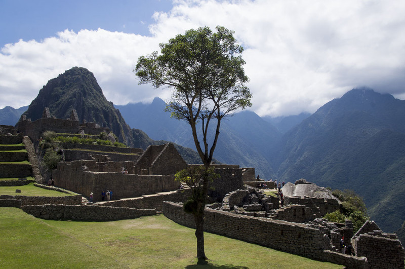 tree standing alone in sacred ruins  Machu PIcchu