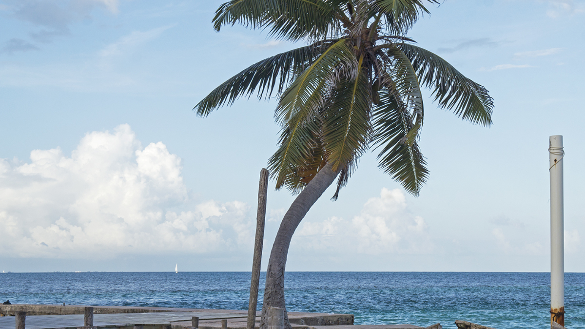 palm tree at Cay Caulker