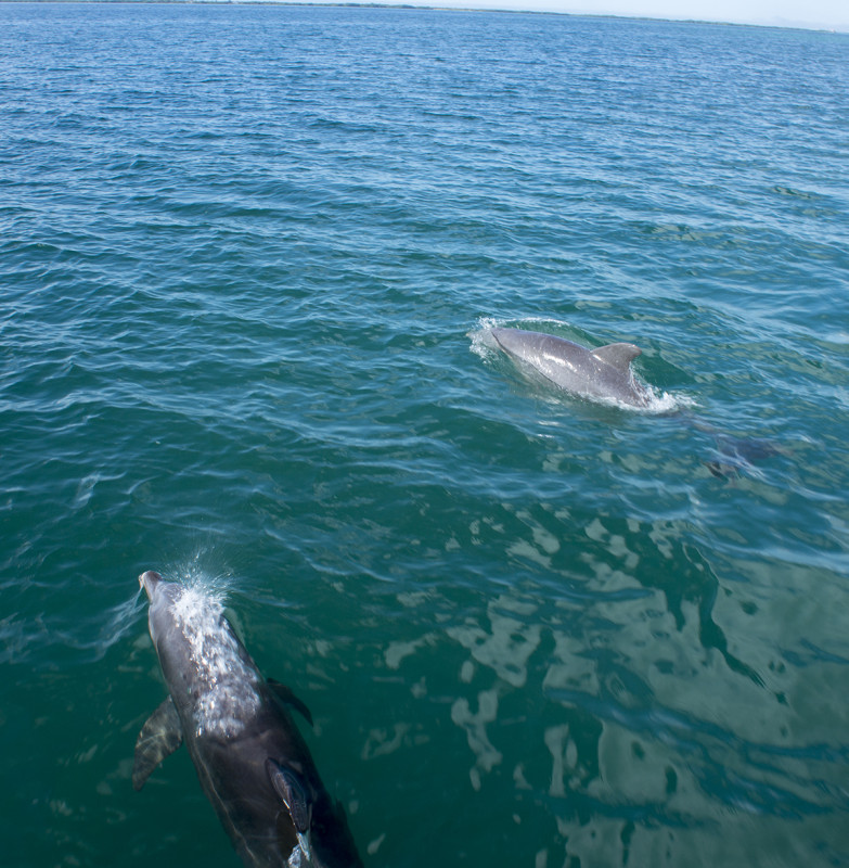 dolphins at St. George's Cay