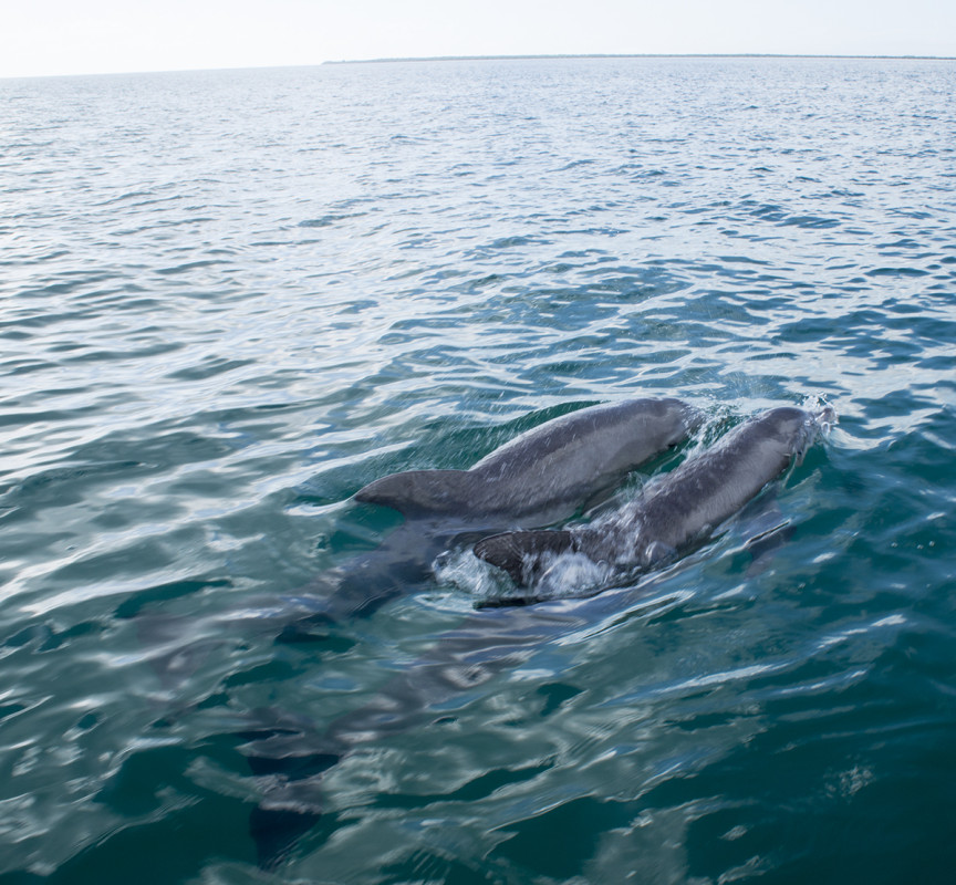 dolphins at St. George's Cay, Belize