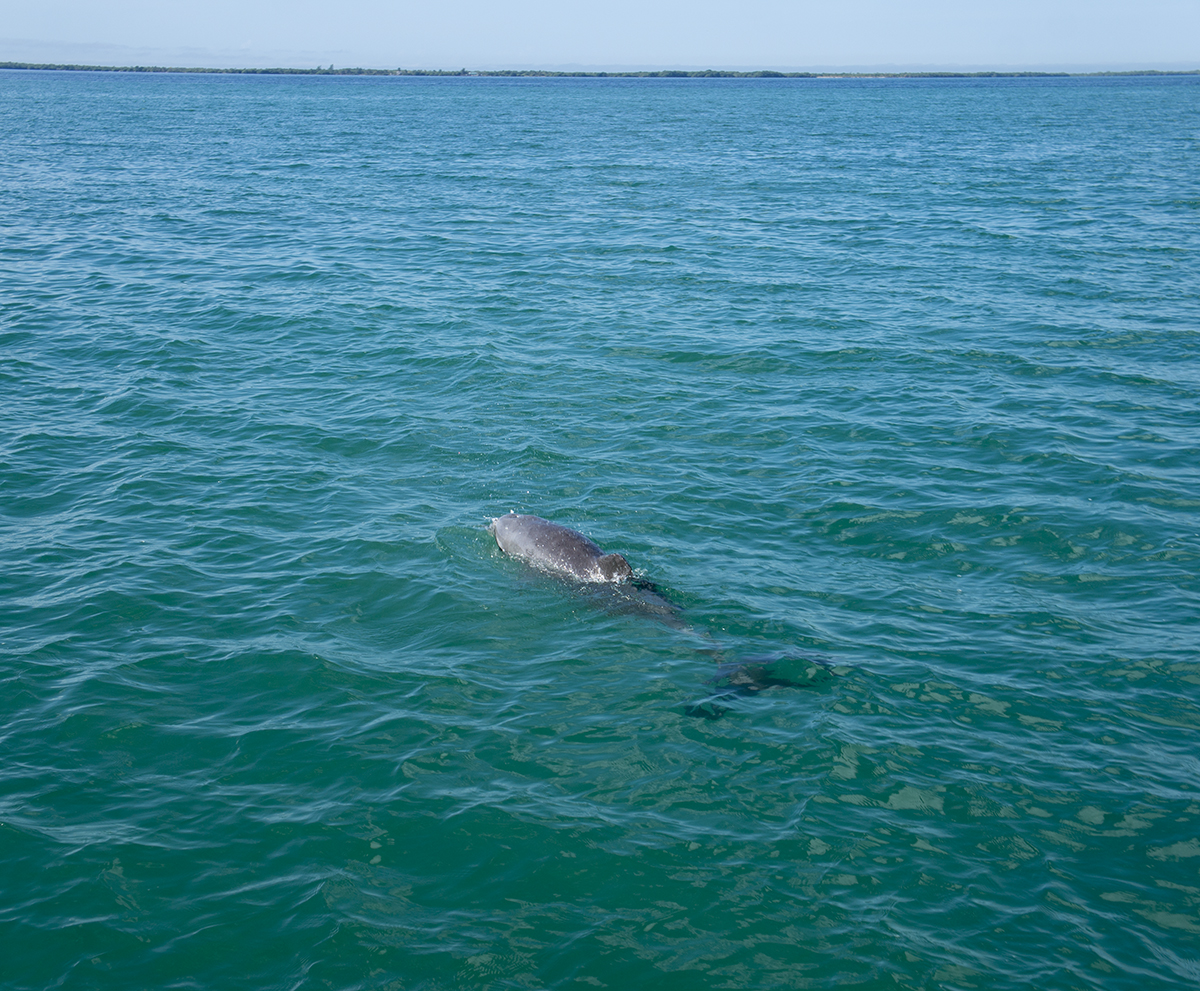 dolphin at St. George's Cay