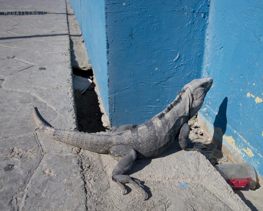iguana in Isla Mujeres