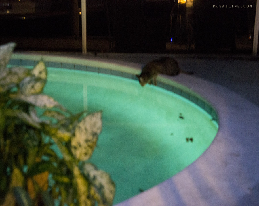 cat drinking pool water