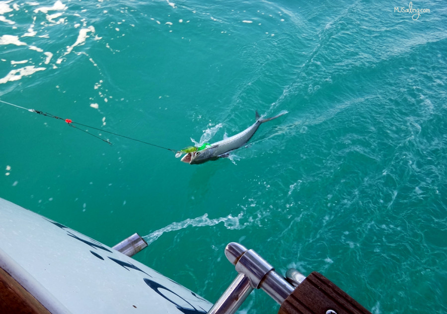 catching baracuda
