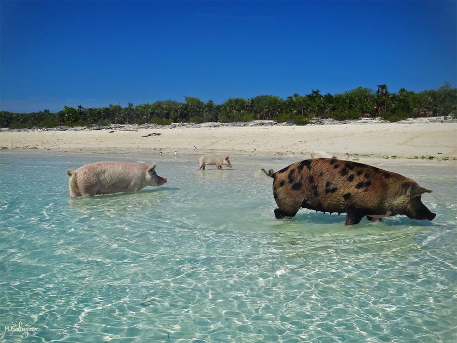 family of pigs at Big Majors