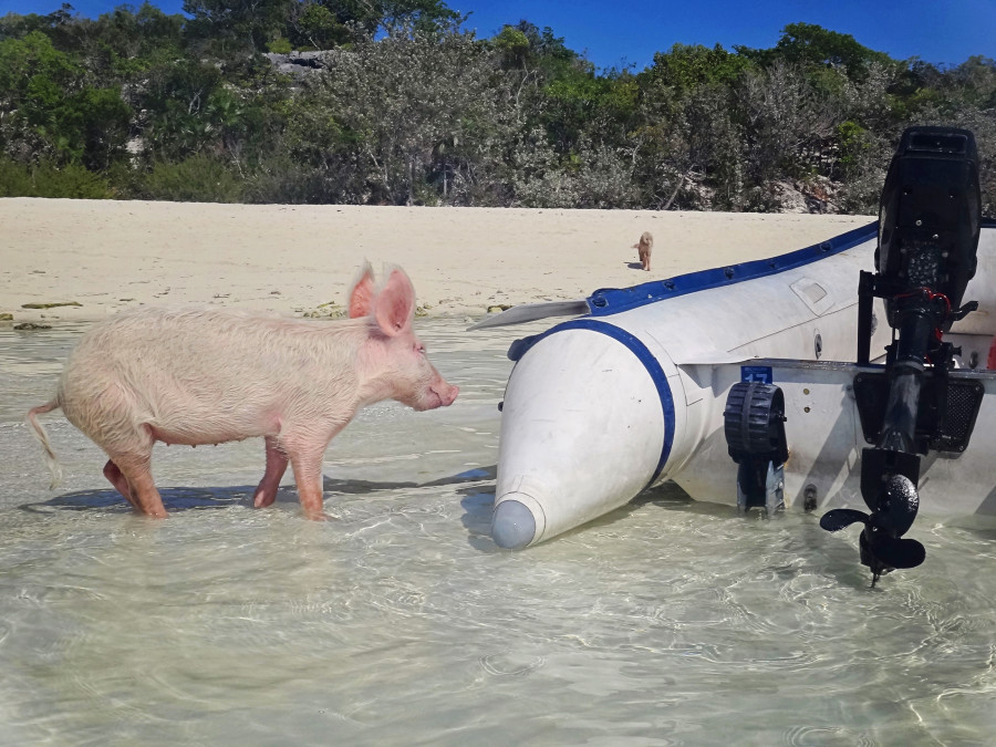 piglet checking out dinghy