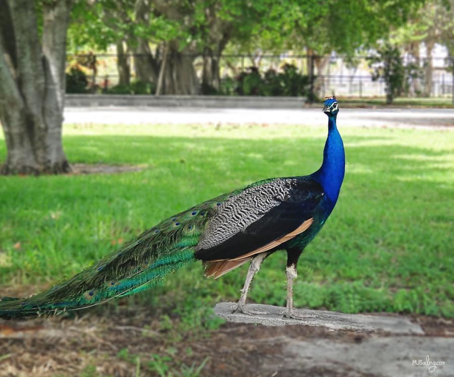 peacock, Crandon Park