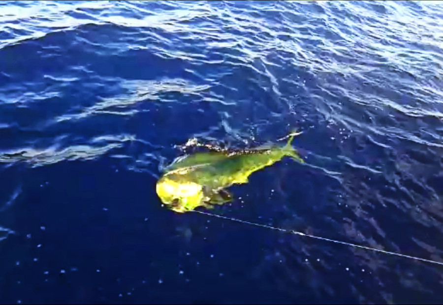 caught & lost mahi