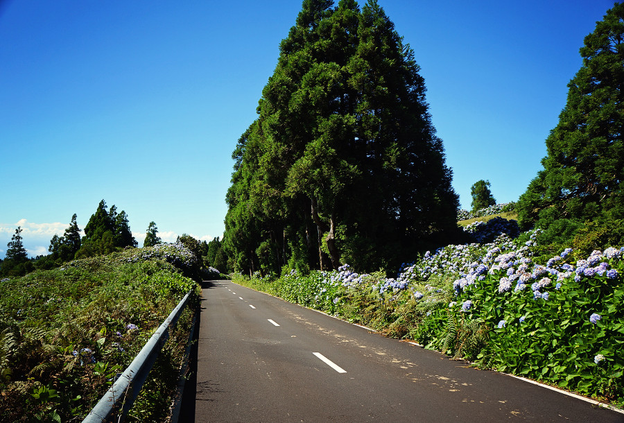 hydrangea filled road on Faial, Azores