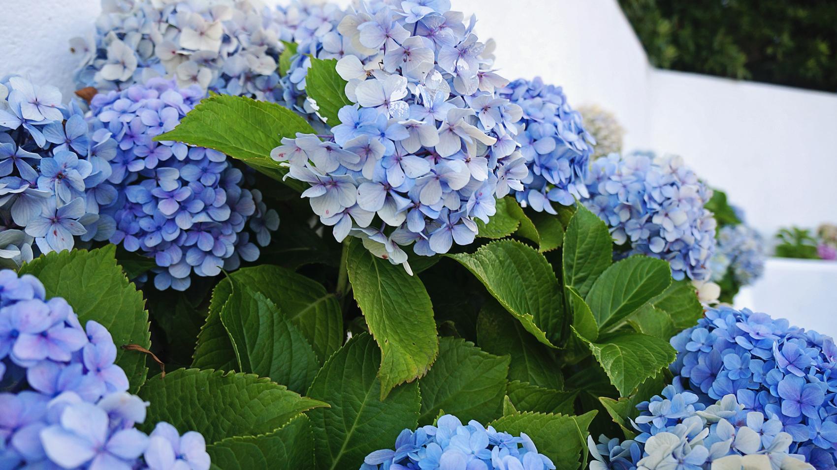 blue hydrangeas of Horta, Azores