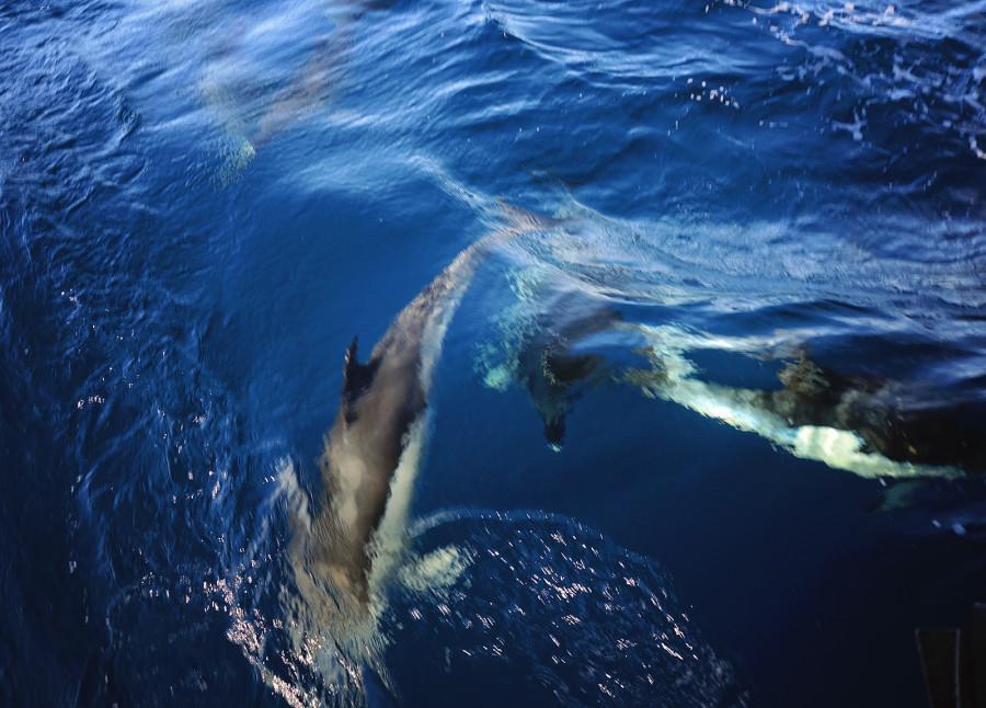 saddle back dolphins