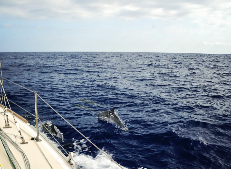 dolphins in front of Madeira