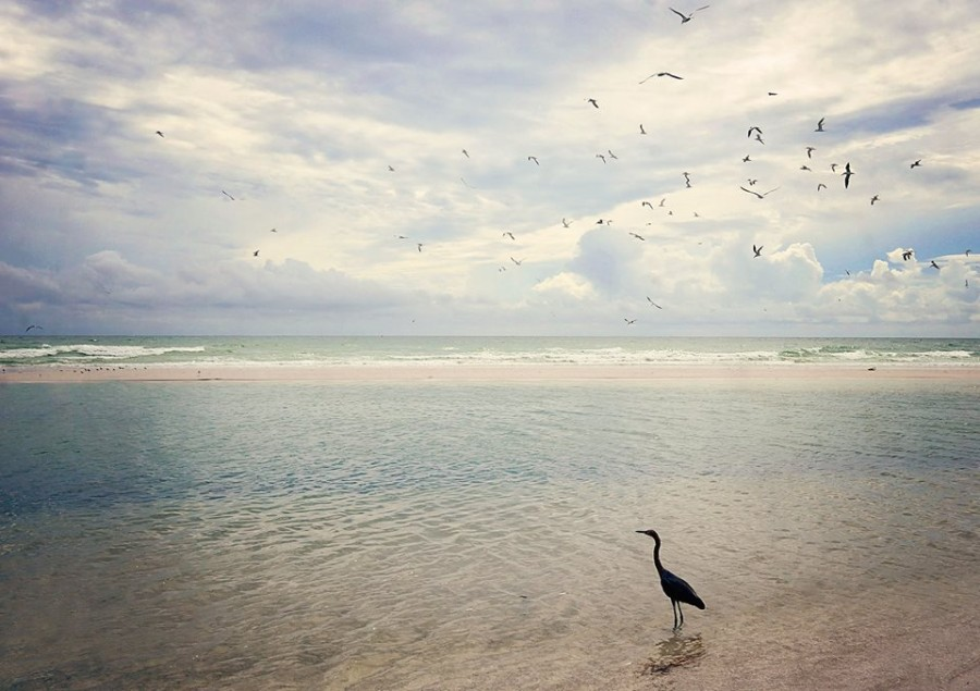 birds on Siesta Beach