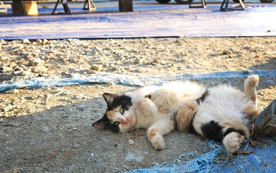 Cairo, calico cat